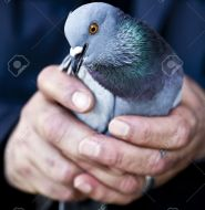 Pigeon Image 4 - Copy Cropped