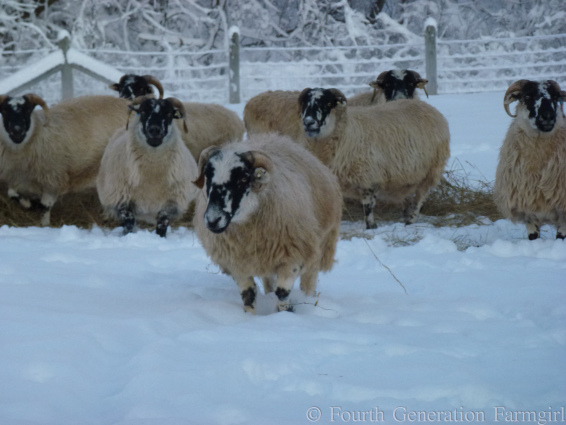Tonya's Blog Images Warm wolly Sheep 4.jpg